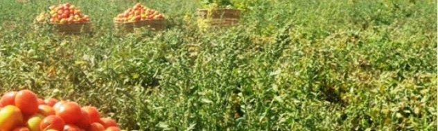ocp tomato fertilizer